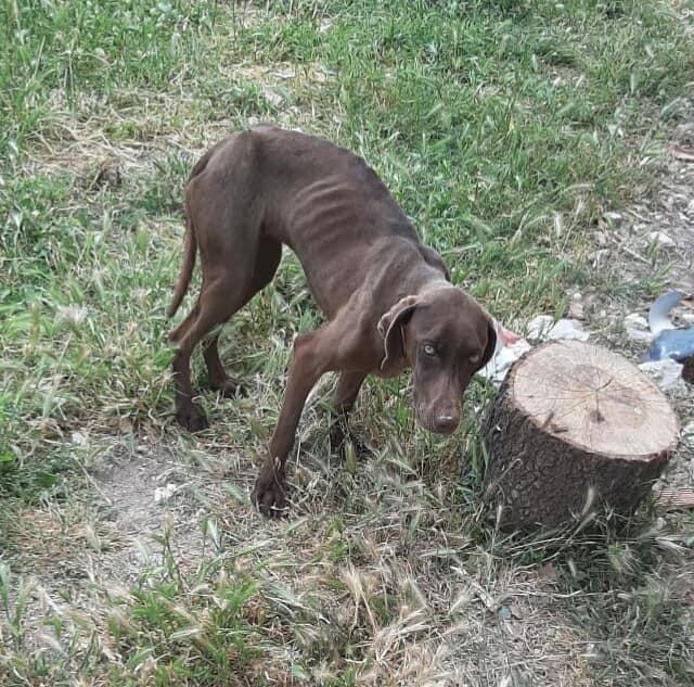 Labrador unterernährt